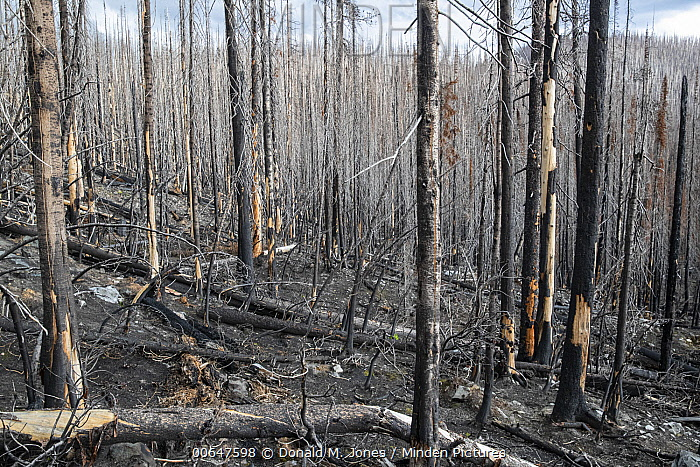 Burned coniferous forest two years after wildfire, Montana, Montana