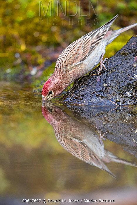 Cassin's Finch (Carpodacus cassinii) male drinking, Montana