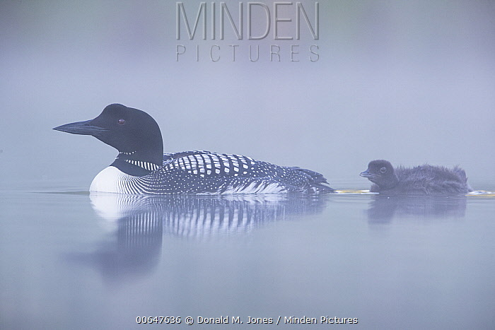 Common Loon (Gavia immer) parent with chick, Montana