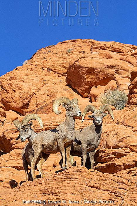 Desert Bighorn Sheep (Ovis canadensis nelsoni) rams, Montana