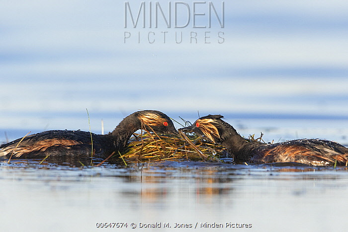 Eared Grebe (Podiceps nigricollis) pair building nest, Montana
