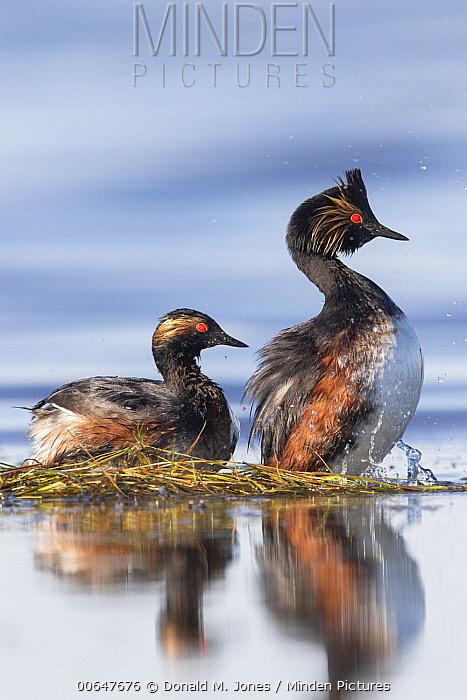 Eared Grebe (Podiceps nigricollis) pair at nest, Montana