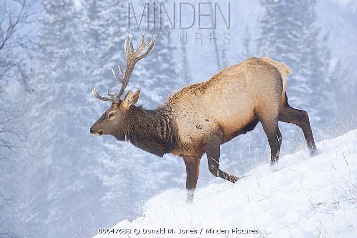 Elk (Cervus elaphus) bull in winter, Montana