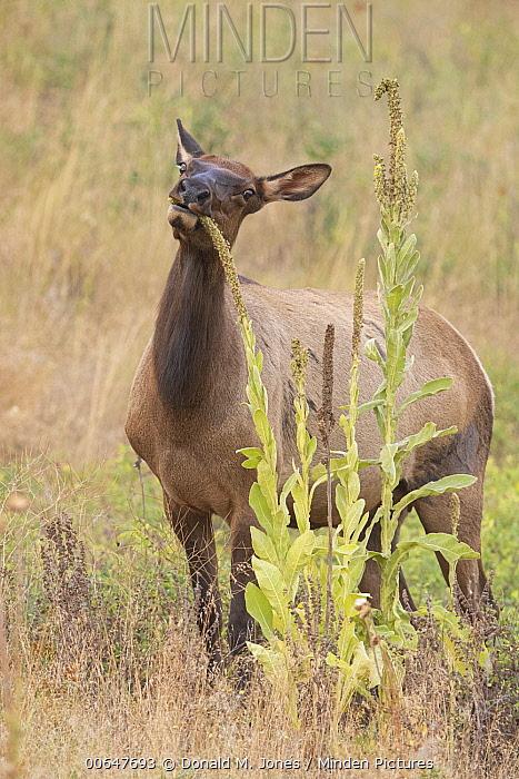 Elk (Cervus elaphus) female browsing, Montana