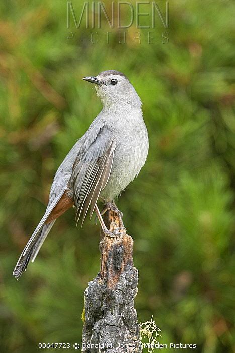 Gray Catbird (Dumetella carolinensis), Montana
