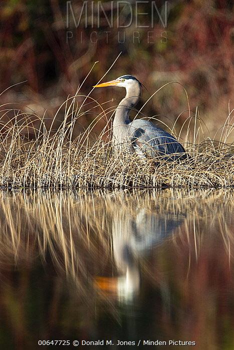 Great Blue Heron (Ardea herodias) in wetland, Montana