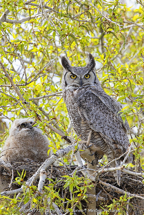 Great Horned Owl (Bubo virginianus) parent with owlet at nest, Montana