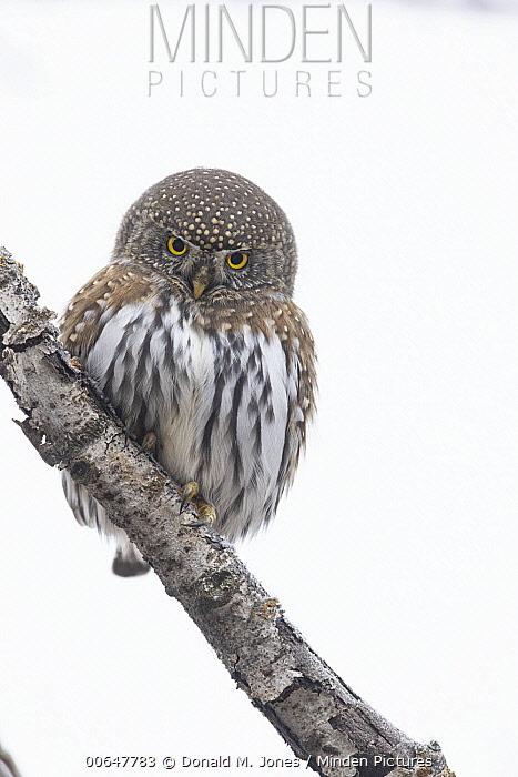 Mountain Pygmy-Owl (Glaucidium gnoma) in winter, Montana