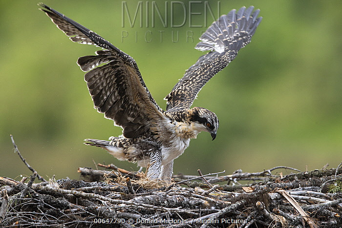 Osprey (Pandion haliaetus) chick spreading wings on nest, Montana