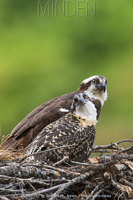 Osprey (Pandion haliaetus) parent with chick on nest, Montana