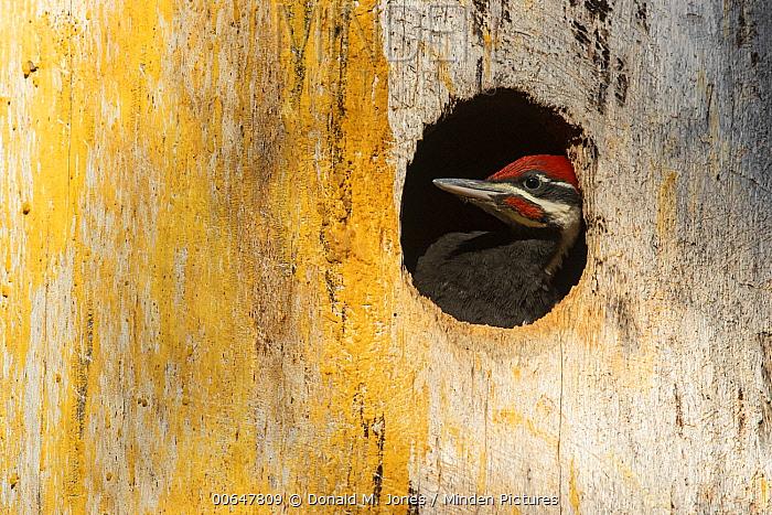 Pileated Woodpecker (Dryocopus pileatus) male chick in nest cavity, Montana