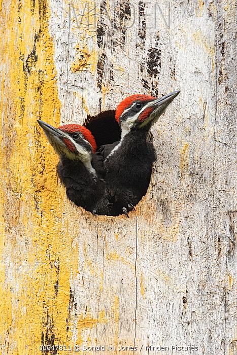 Pileated Woodpecker (Dryocopus pileatus) chicks in nest cavity, Montana