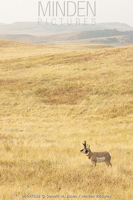Pronghorn Antelope (Antilocapra americana) male in grassland, Montana