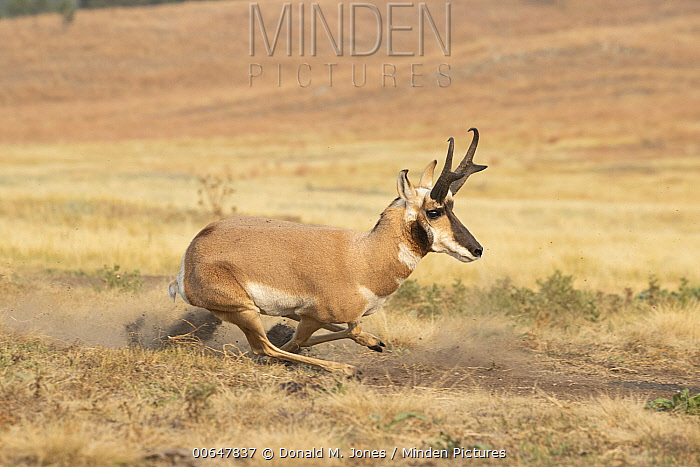 Pronghorn Antelope (Antilocapra americana) male running, Montana