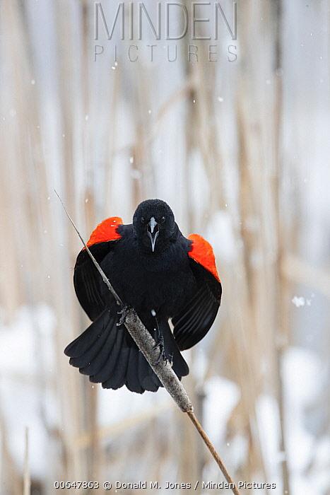 Red-winged Blackbird (Agelaius phoeniceus) male calling, Montana