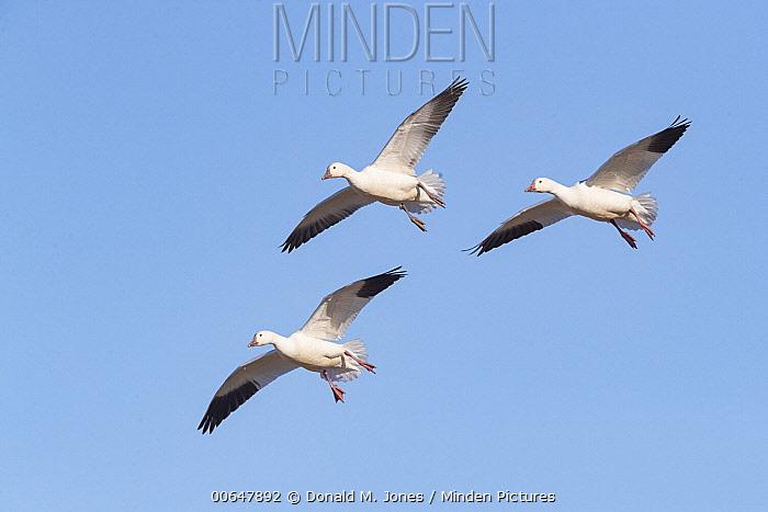 Snow Goose (Chen caerulescens) trio flying, Montana