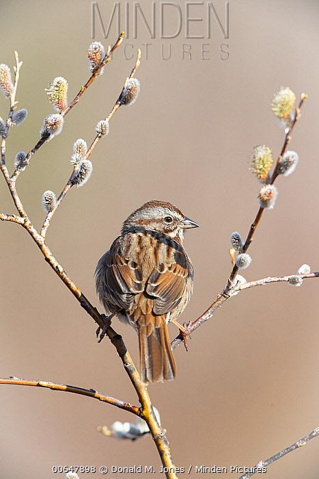 Song Sparrow (Melospiza melodia), Montana