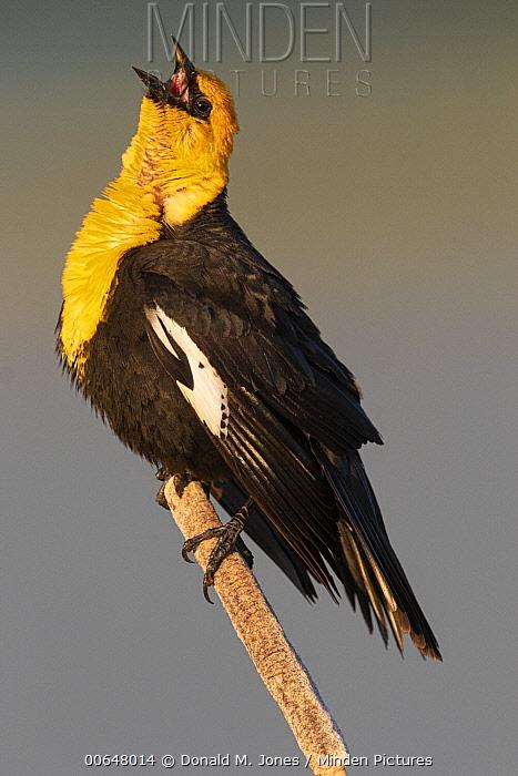 Yellow-headed Blackbird (Xanthocephalus xanthocephalus) male calling, Montana