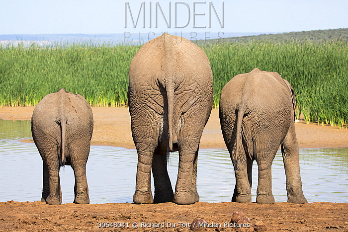 African Elephant (Loxodonta africana) mother and calves drinking at waterhole, Addo National Park, South Africa