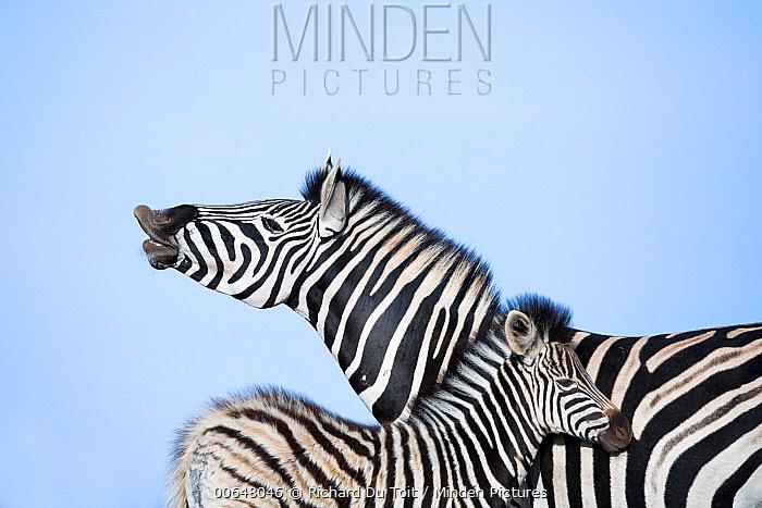 Burchell's Zebra (Equus burchellii) mother flehming near foal, Addo National Park, South Africa