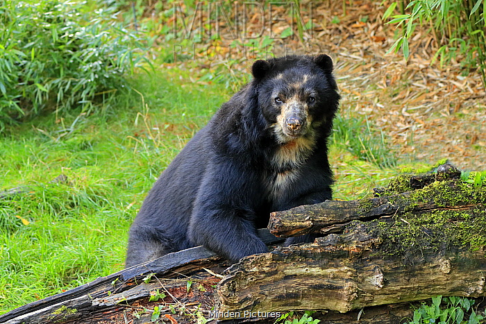 Spectacled Bear (Tremarctos ornatus), native to South America