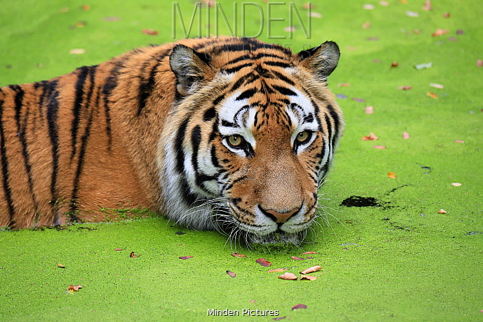 Siberian Tiger (Panthera tigris altaica) in water, native to Asia