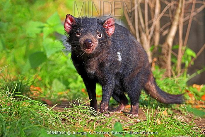Tasmanian Devil (Sarcophilus harrisii), native to Australia