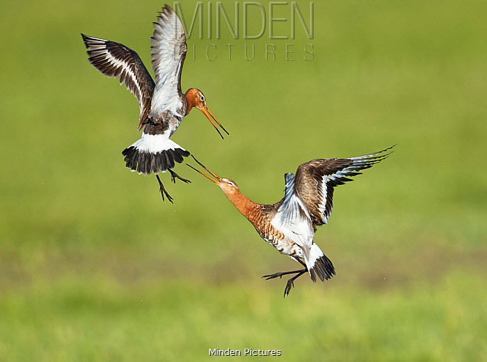 Black-tailed Godwit (Limosa limosa) pair fighting, Duemmer Lake, Germany