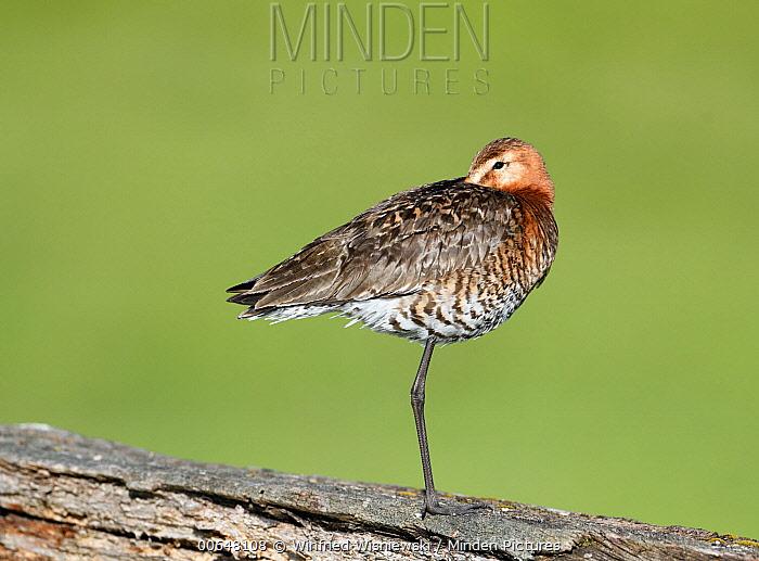 Black-tailed Godwit (Limosa limosa), Duemmer Lake, Germany