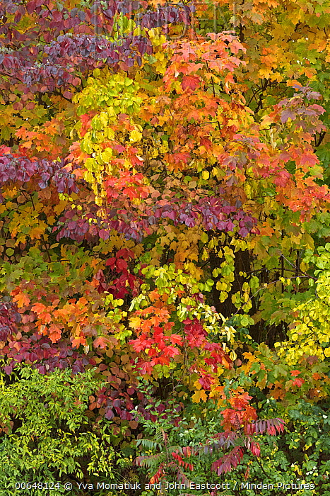 Deciduous forest in autumn, New York