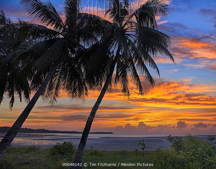 Coconut Palm (Cocos nucifera) trees at sunset, Hinawnan Beach, Bohol Island, Philippines