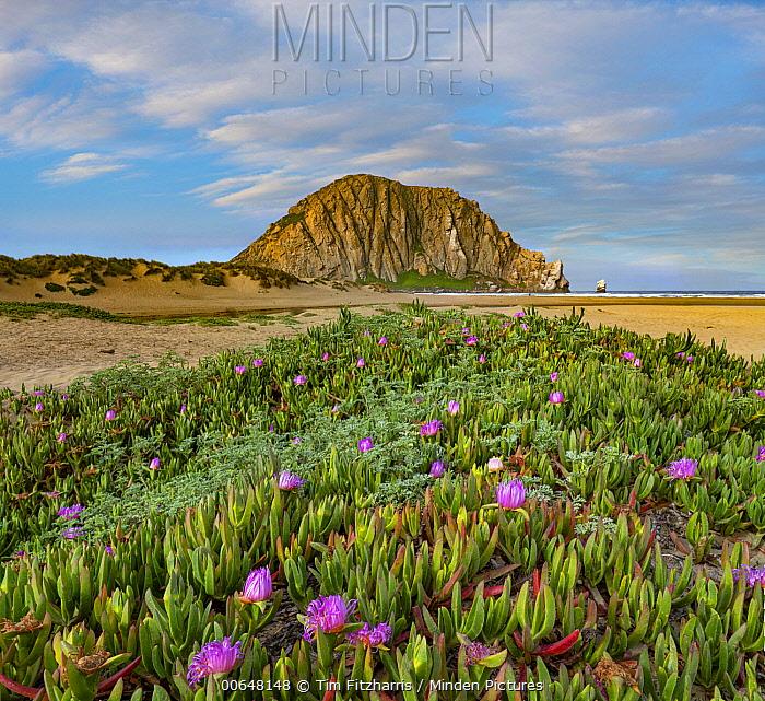 Ice Plant (Carpobrotus edulis) flowering, Morro Bay, Big Sur, California