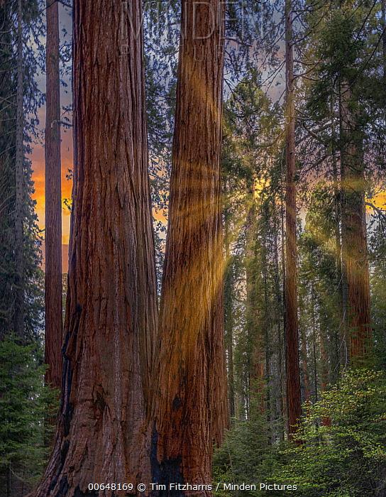 Giant Sequoia (Sequoiadendron giganteum) forest at sunrise, Merced Grove, Yosemite National Park, California