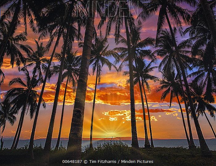 Coconut Palm (Cocos nucifera) trees at sunset, Bohol Island, Philippines