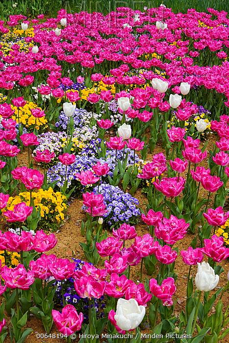 Didier's Tulip (Tulipa gesneriana) flowers, Tokyo, Japan