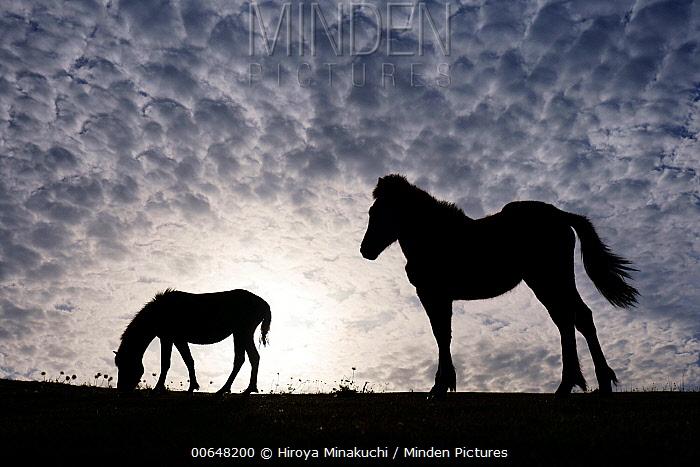 Misaki Horse (Equus caballus) mother with grazing foal at sunset, Cape Toi, Miyazaki, Japan
