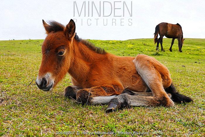 Misaki Horse (Equus caballus) foal with grazing mother, Cape Toi, Miyazaki, Japan