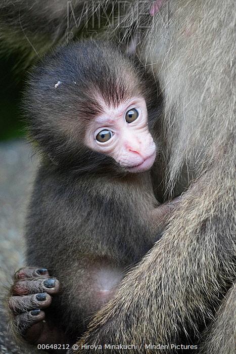 Japanese Macaque (Macaca fuscata) young, Yakushima Island, Kagoshima, Japan