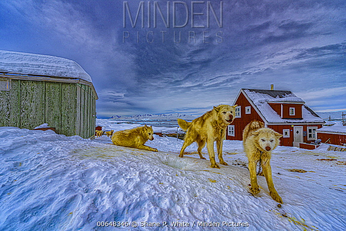 Sled Dog (Canis familiaris) group in village, Tiniteqilaaq, Iceland