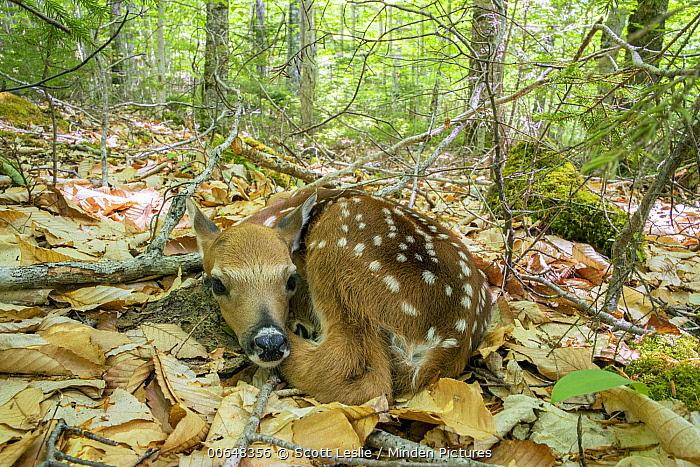White-tailed Deer (Odocoileus virginianus) fawn, Nova Scotia, Canada