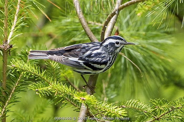 Black-and-white Warbler (Mniotilta varia) male in breeding plumage, Nova Scotia, Canada