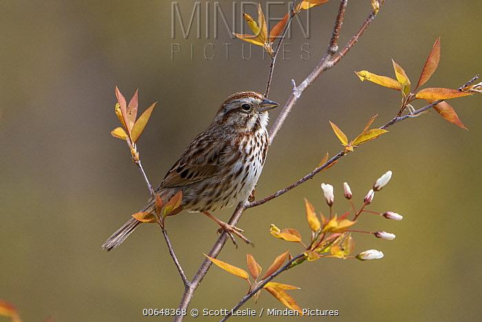 Song Sparrow (Melospiza melodia), Nova Scotia, Canada