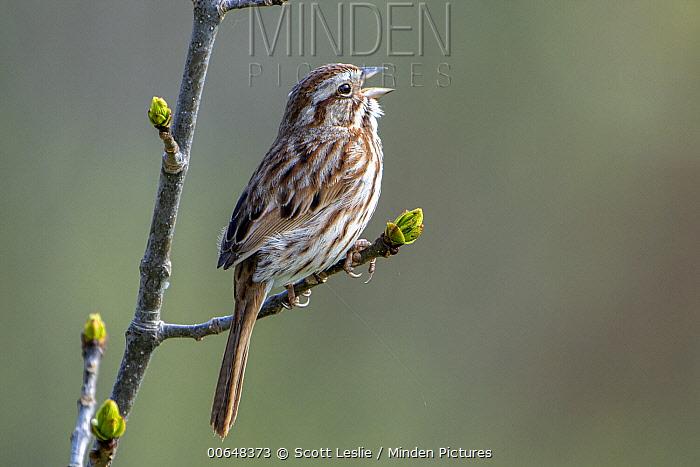 Song Sparrow (Melospiza melodia) calling, Nova Scotia, Canada