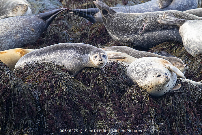 Harbor Seal (Phoca vitulina) group, Bay of Fundy, Canada