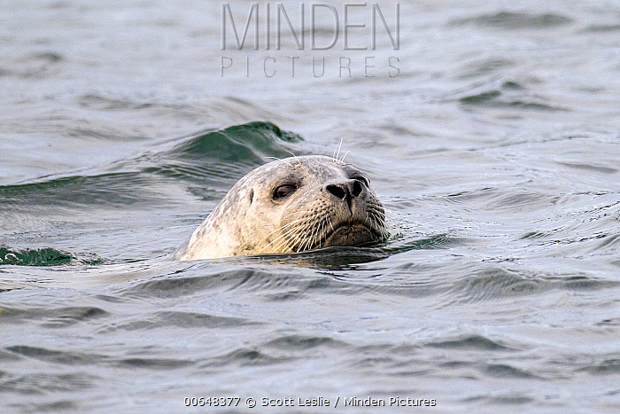 Harbor Seal (Phoca vitulina), Bay of Fundy, Canada