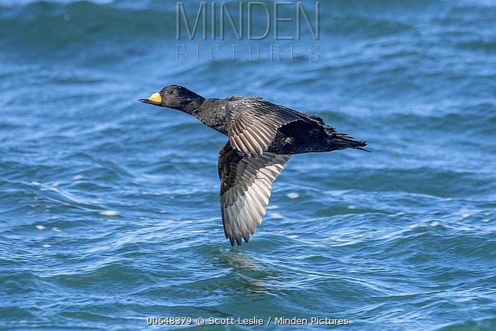 Black Scoter (Melanitta nigra) flying, Bay of Fundy, Canada