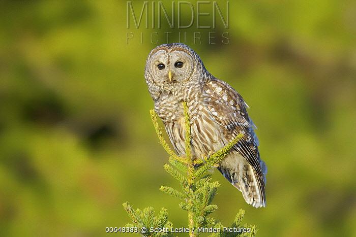 Barred Owl (Strix varia), Nova Scotia, Canada