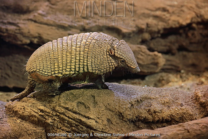 Hairy Armadillo (Chaetophractus villosus), native to South America