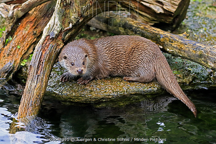 European River Otter (Lutra lutra), native to Europe