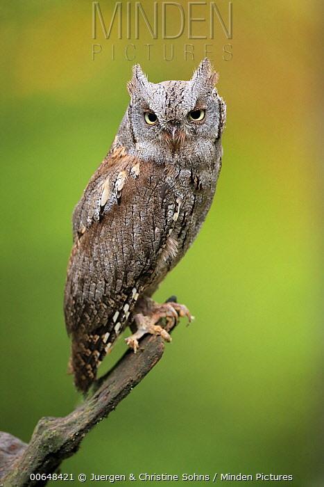 Common Scops-Owl (Otus scops), Bohemian Forest, Czech Republic